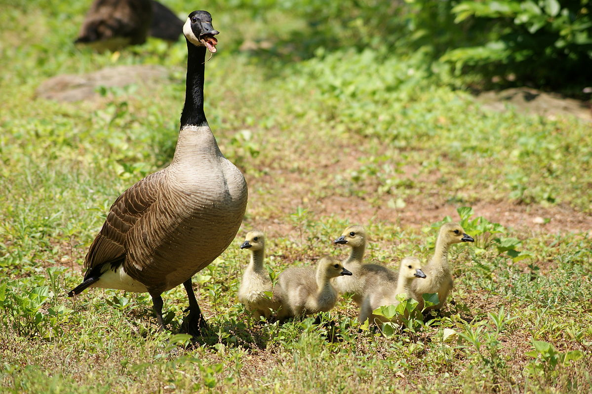1199px-Female_Canada_goose_with_goslings